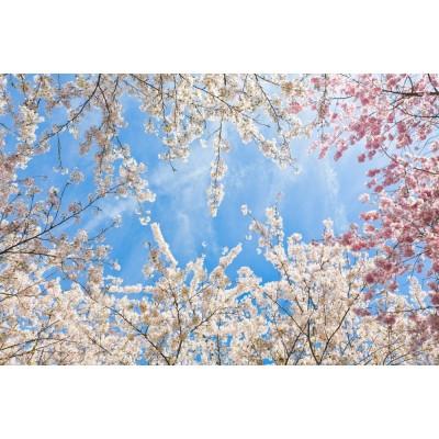 Pembe ve Beyaz Çiçekli Dallar Gökyüzü Duvar Kağıdı